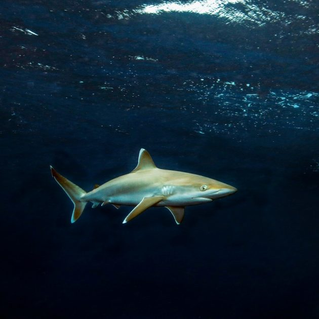 Shark diving in Thongaland